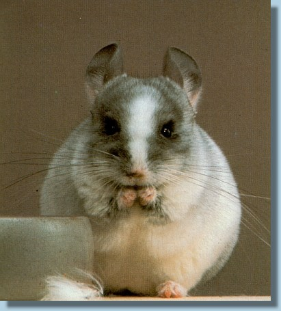 chinchilla silberschecken